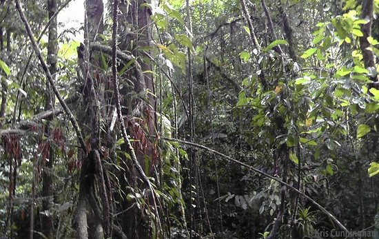 Rambala Jungle Lodge: Crazy huge vines in the jungle