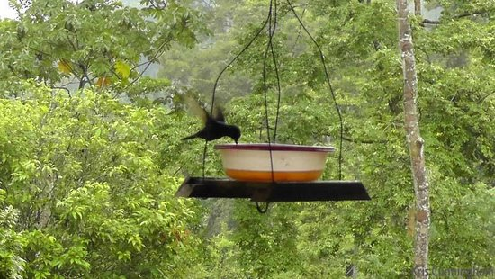 Rambala Jungle Lodge: There are tons of hummingbirds enjoying the feeders