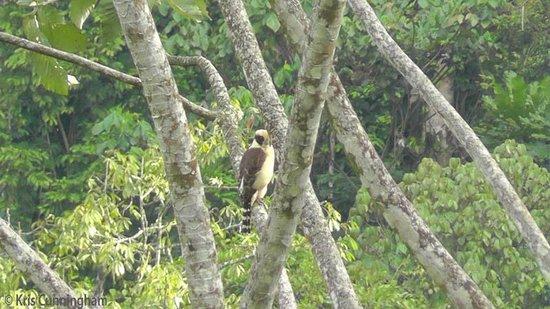 Rambala Jungle Lodge : A laughing falcon