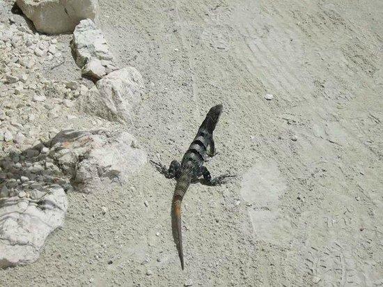 Belizean Shores Resort: Iguanas on the grounds of Belizean Shores