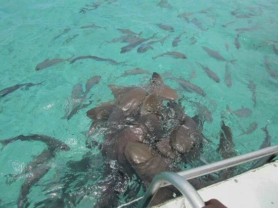 Ambergris Caye, Belize: Sharks feeding in the water!