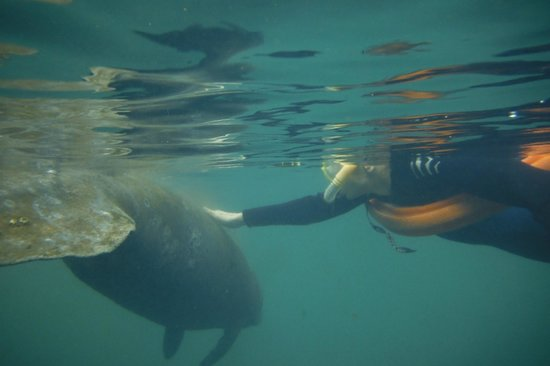 Snorkel With The Manatees : Swimming with manatees with Capt Gene & Laura is a one of a kind experience