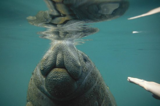 Snorkel With The Manatees : Coming up for air