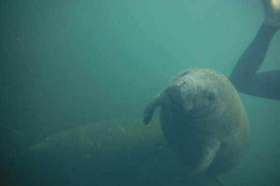 Snorkel With The Manatees : Baby and Mama