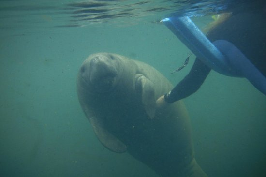Snorkel With The Manatees : If you scratch their bellies they might roll over for you