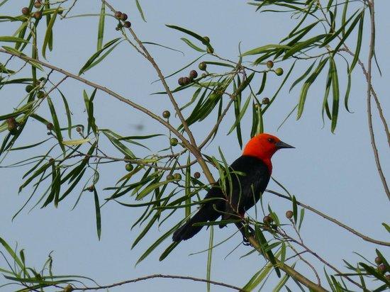 Ecoposada del Estero: rare scarlet headed blackbird in the garden!!