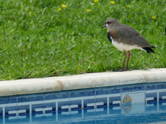 Ecoposada del Estero: southern lapwing roosting on the edge of the pool