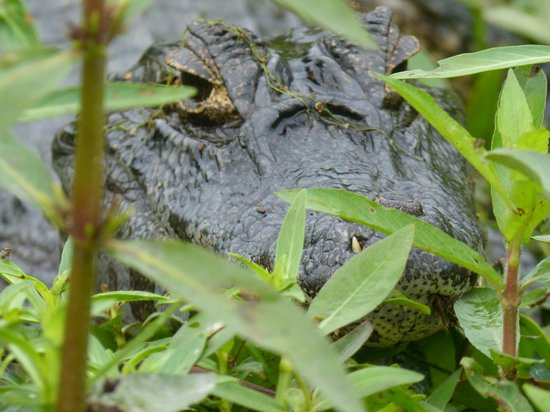 Ecoposada del Estero: local reptile viewed from the boat on Ibera marsh