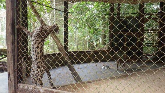 Quistacocha Zoo: Katze wird wahnsinnig in Gefangenschaft