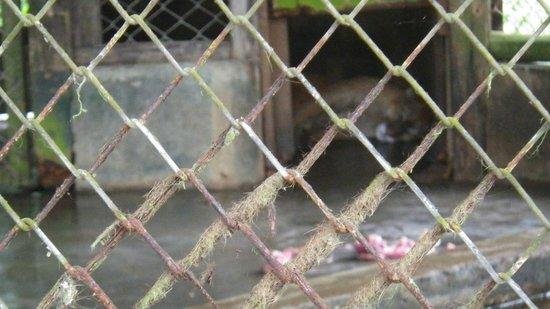 Quistacocha Zoo: unglücklicher Puma, von denen es fast 10 gibt!