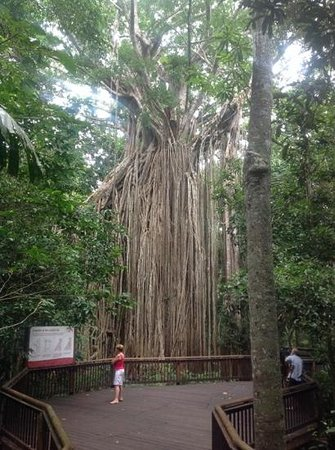 Curtain Fig National Park : you can walk right around to view all aspects