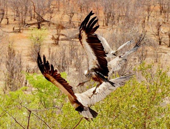 Victoria Falls Safari Lodge: Vultures