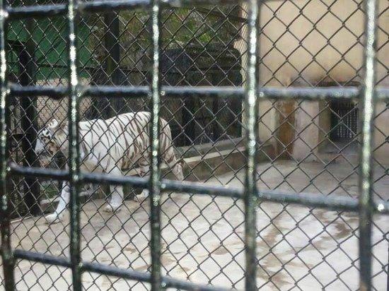 Kolkata Zoo & Zoological Garden: White Tiger