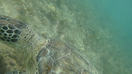 Baia do Sueste : tartaruga