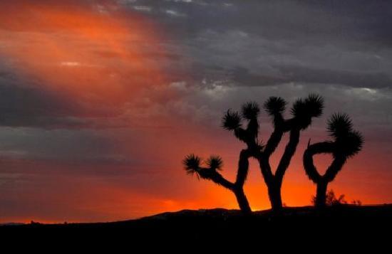 Lancaster, CA: Joshua Tree at sunset