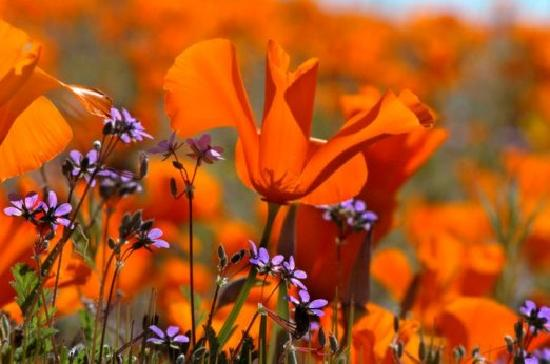 Lancaster, CA: California Poppies at the Antelope Valley CA Poppy Reserve