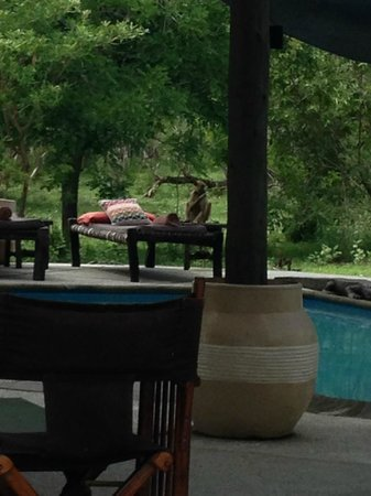 Siwandu: A baboon sort of joined me at the pool.