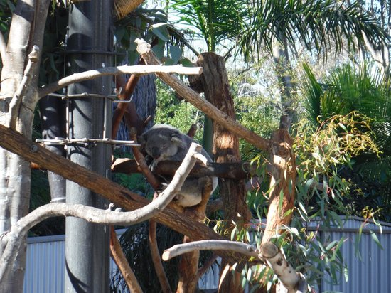 San Diego Zoo : Koala bears are active at night - they sleep all day