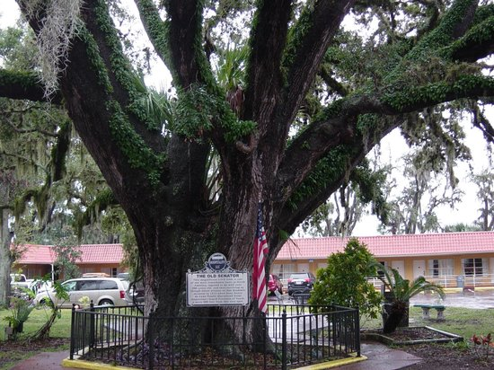 Howard Johnson Inn - Historic ST. Augustine FL : Old Senator - reportedly 600 yr old tree @ the hotel