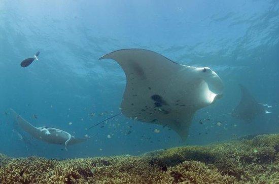 Manta Ray Bay Resort: mulitple mantas