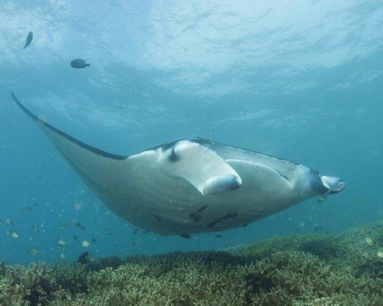 Manta Ray Bay Resort: more mantas