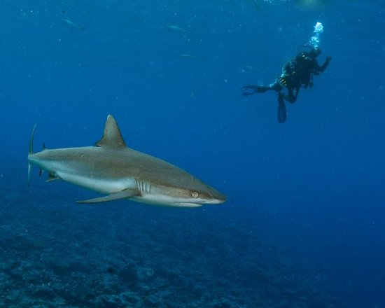Manta Ray Bay Resort: sharks