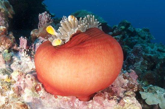 Manta Ray Bay Resort: anemone fish