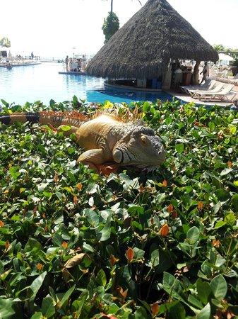 Velas Vallarta: Iguana perch near the pool bar