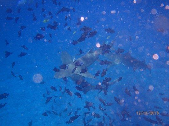 Bora Dream Pictures & Lagoon Tours : lemon sharks