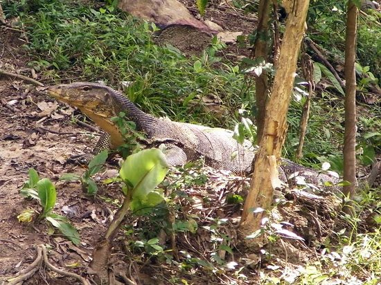 Tours Koh Taen - Private Day Tours: Monitor lizard