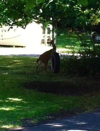 St Andrews Lodge & Glen Cottages: deer having lunch outside our bedroom