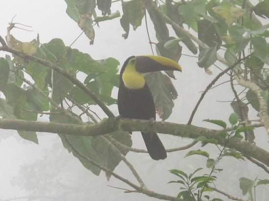 Rio Magnolia Nature Lodge: Toucan