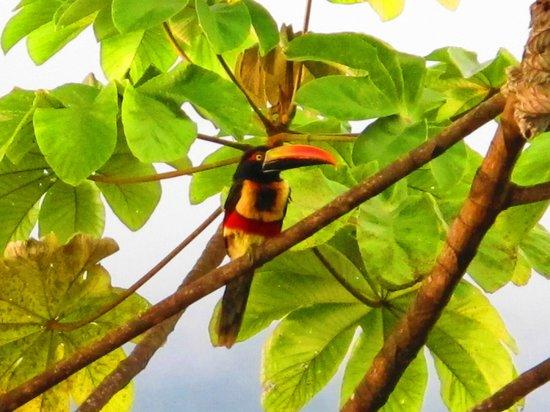 Kura Design Villas Uvita: Toucan type bird at the pool (an aciacari?)
