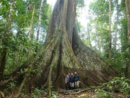 Otorongo Amazon River Lodge: Big Tree