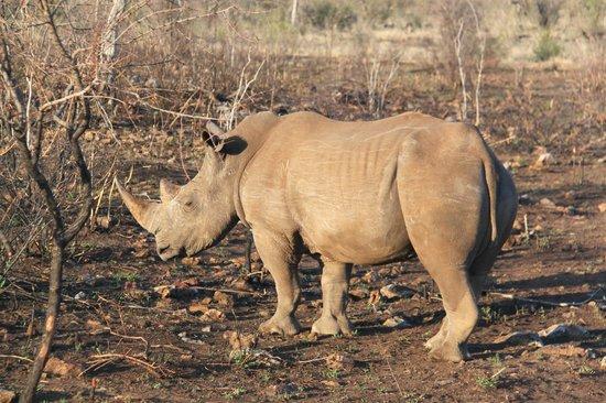Thakadu River Camp: White rhino