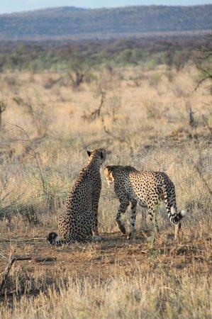 Thakadu River Camp: 2 of the 4 cheetahs we saw