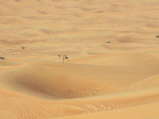 Al Maha, A Luxury Collection Desert Resort & Spa: 天然ラクダ発見