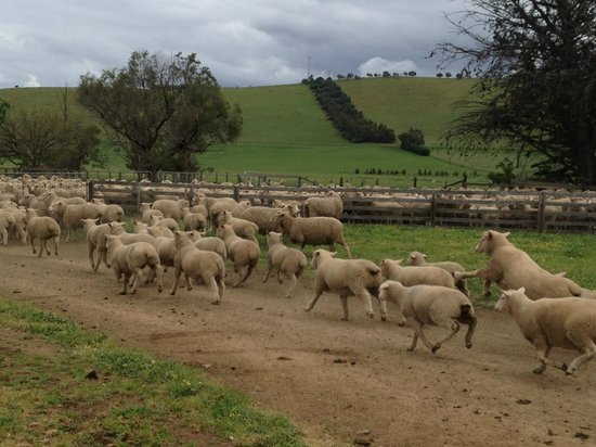 Curringa Farm: Sheep afraid of our car, and kept running