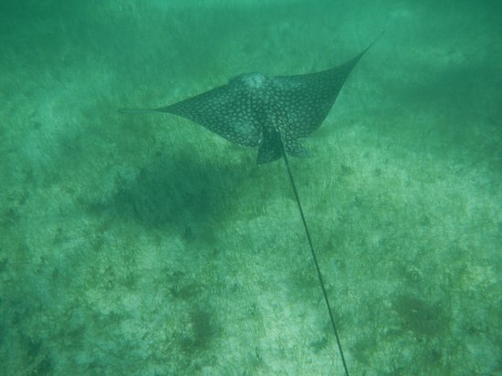 Las Casitas Akumal: Spotted Eagle Ray in front of casita.