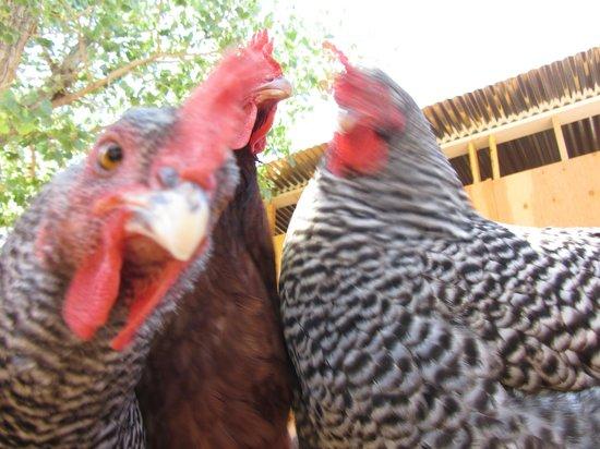 Harmony Farm & Guesthouse: Farm Fresh Eggs and Entertainment!