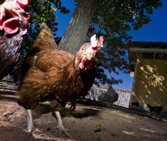 Harmony Farm & Guesthouse: Welcome to the Chicken Village
