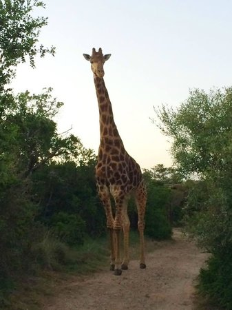 Kariega Game Reserve - All Lodges : Jerry, our local giraffe...