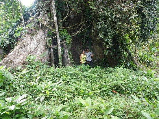 San Pedro Lodge: árbol gigante
