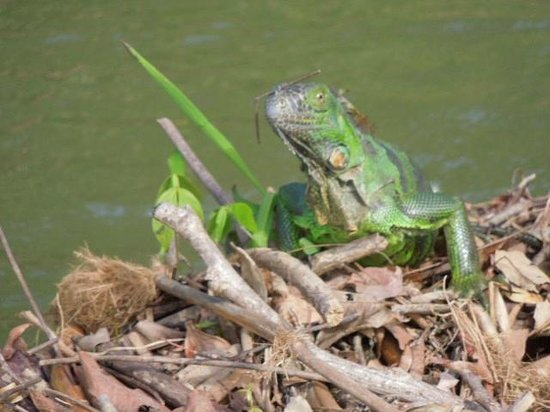 Barebones Tours, Day and Night Tours: It was iguana mating season