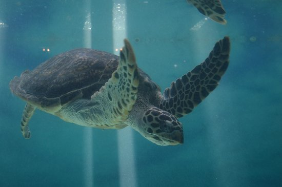 Acuario Mazatlan: Tortuga marina