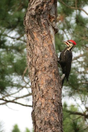 Cedaroma Lodge: Pileated Woodpecker, these are huge. I had never seen one before