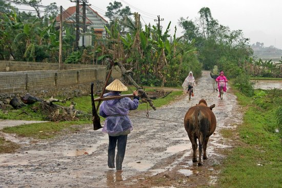 Phong Nha Farm Stay: Morning, bike to school in the rain, head to work the rice fields, same way it was done for  eve