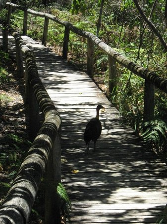 The Retreat Beach Houses Peregian Beach: Scrub Turkey on beach walk