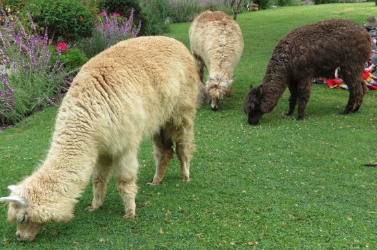 Hotel Pakaritampu: Alpaca eating breakfast