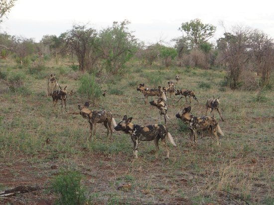 Etali Safari Lodge: Pack of Wild dogs